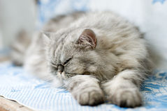 Sleeping cat. Persian cat sleeping on blue and white blanket Royalty Free Stock Images