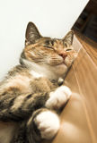 Sleeping cat. Pretty cat asleep on table royalty free stock images