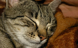 Sleeping_cat Immagine Stock