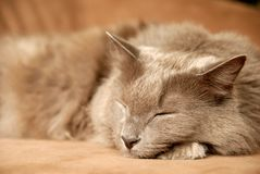 Sleeping cat. Grey main coon cat is sleeping Royalty Free Stock Photos