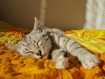 Sleeping cat. Gray cat sleeps on the bed at home Royalty Free Stock Photo