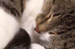 Sleeping cat. Rolled up in a ball Royalty Free Stock Image