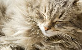 Sleeping cat Stock Photo