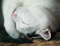 Free Sleeping Cat Stock Photography - 60725152