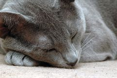 Sleeping cat. On the carpet Royalty Free Stock Photography