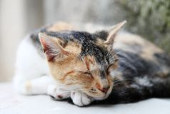 Sleeping cat Stock Photography