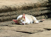 Sleeping Cat at Banteay Samre Stock Photography