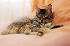 The sleeping cat Royalty Free Stock Photos