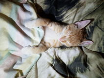 sleeping cat in a bed Royalty Free Stock Images