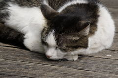 Siesta. Sleeping cat on a blurred background Royalty Free Stock Photography