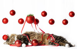 Sleeping Cat with Christmas Ornaments. A cat sleeping with red sparkling Christmas ornaments and red ribbon, ornaments hanging in background. Background is white stock photo
