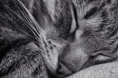Sleeping cat. Close-up royalty free stock photography