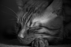 Sleeping Cat Royalty Free Stock Image