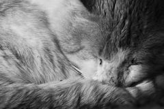 Sleeping cat. A collored girl hand .Very niceThis cat it taking a nap Stock Photography
