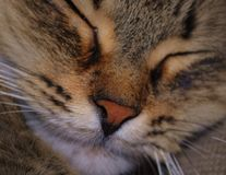 Sleeping cat. Cuddly content sleeping stripy cat Stock Images
