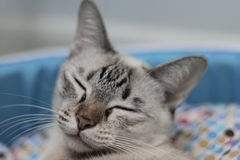 Sleeping cat. Domestic thai cat sleeping in her bed Stock Photo