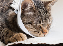 Sleeping cat with an Elizabethan collar Stock Images