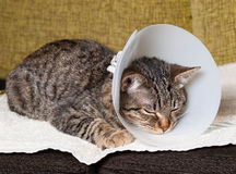 Sleeping cat with an Elizabethan collar. Inside home Stock Photography