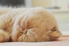 Sleeping cat. Stock Image