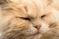 Sleeping cat face closeup Stock Photo