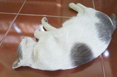 Sleeping cat on the floor in thailand Stock Photography