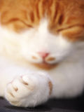 Sleeping cat, focus on the paw and the claw (4) Stock Image