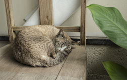 Sleeping cat. Cat Gray tabby curled sleep on ancient wooden chair provide a sense of comfort in an atmosphere of old In a country home Royalty Free Stock Photo