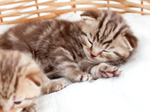 Sleeping cat kitten in wicker basket Stock Photos