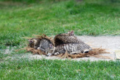 Sleeping cat with kittens Stock Photography