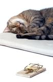 Sleeping cat with mousetrap. Isolated sleeping cat with mousetrap Royalty Free Stock Photography