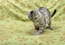 Sleeping cat in natural home background, lazy cat face close up, small sleepy lazy cat, domestic animal, cat on siesta time,restin. G cat on blur carpet, cute Stock Photography