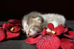 Sleeping Cat Newborn Kitten. 1 week old newborn kitten with orchid Royalty Free Stock Photography