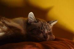 Sleeping cat on the orange pillow royalty free stock image