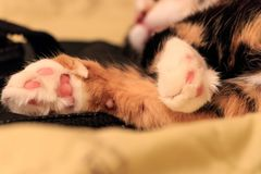 Cat paw. Sleeping cat paw close up royalty free stock images