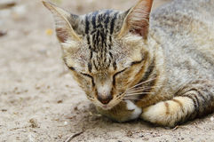 Sleeping cat. Picture of sleeping thai cat from Chiangmai province, Thailand Stock Photography