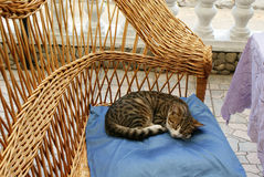 Sleeping cat on pillow in chair. Sleeping gray cat with a long tail on a blue pillow in a wicker chair. Striped cute pet rests curled into a ball Stock Photos