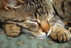 Sleeping cat portrait Royalty Free Stock Photo