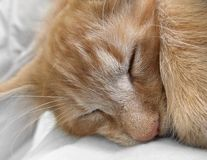 Sleeping cat portrait Stock Image