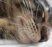 Sleeping cat portrait Royalty Free Stock Images