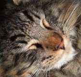 Sleeping cat portrait Stock Images