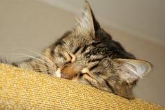 Sleeping cat Stock Photography