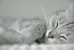 Sleeping cat. Portrait of grey cat sleeping on white towel Stock Photos