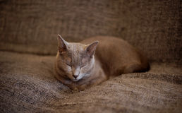 A sleeping cat. Shoot a sleeping cat on a sofa Royalty Free Stock Image