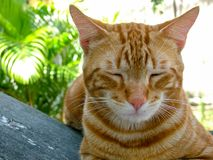 Sleeping cat with shutted eyes. Royalty Free Stock Photography