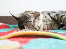 Sleeping cat Stock Image