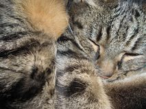 Sleeping Cat. Tabby Cat sleeping curled up Royalty Free Stock Photos