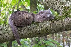 Sleeping Cat at a Tree. Branch at Blurred Background Royalty Free Stock Photo