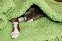 Sleeping cat under a green blanket. The house cat had crawled under a blanket creating a warm nest for a little power-nap Royalty Free Stock Image