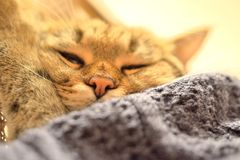 Sleeping cat. Under a warm blanket knitted Royalty Free Stock Photography