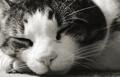 Sleeping Cat Up Close Royalty Free Stock Image